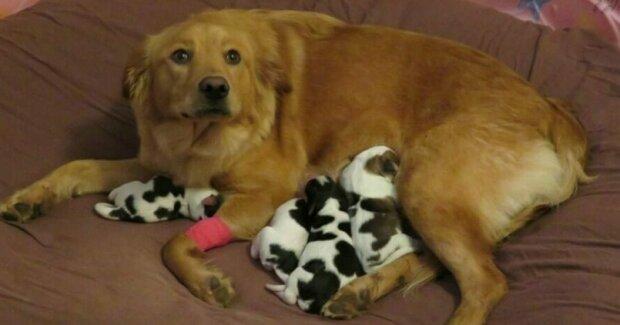 """Zachráněný těhotný pes porodil """"malé krávy"""""""