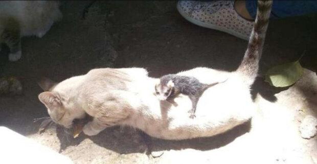"""Kočka přišla z procházky ne sama: """"Malé dítě se drželo pevně na zádech, jako by byla jeho matkou"""""""