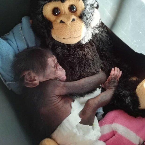 Plyšová hračka nahradila matku pro opuštěného šimpanz