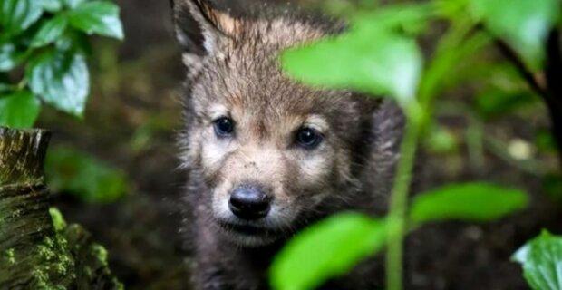 """""""Něco jsem uslyšel a běžel k záchraně"""": Syn lesníka zachránil vlče. Po třech letech vlk se vrátil s někým"""