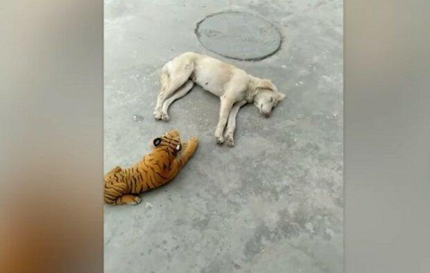 Zatímco pes pokojně spal, dostal plyšového tygra
