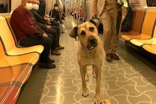 V Istanbulu toulavý pes cestuje veřejnou dopravou každý den: Kam jezdí pes