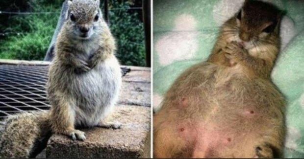 Divoká veverka se rozhodla rodit v domě lidí, kteří jí otevřeli okno