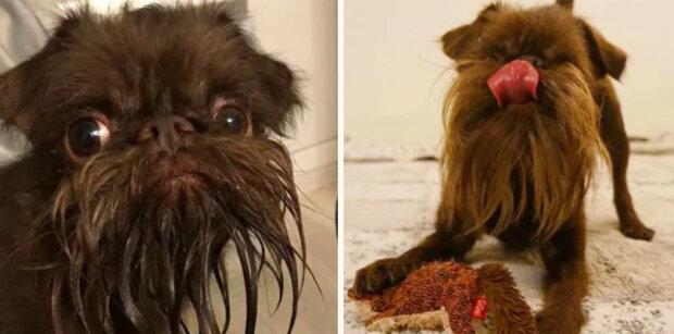 """Pes, který je považován za """"starého dědečka"""" kvůli vtipnému vousu"""