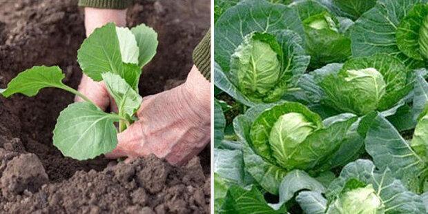 """Sousedka na chatě povídala vynalézavost z pěstování zelí: """"Určitě to zkusím použit letos"""""""