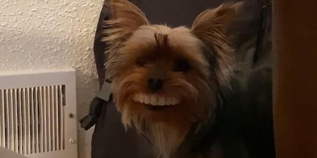 Pes ukradl uměly chrup od svého pána, který donutil plakat nejen majitele, ale i mnoho uživateli internetu