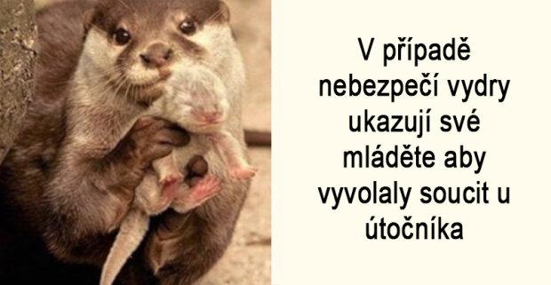 """V případě nebezpečí vydry ukazují své mláděte aby vyvolaly soucit u útočníka: """"Zoologové povídali několik faktů o zvířatech, které dojímají"""""""