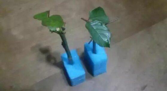 Jak zakořenit řízky růží pomocí pěnové houby