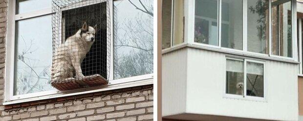 Dobyvatelé balkonů: legrační psi na svých pozorovacích stanovištích