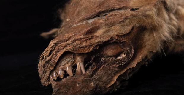 """V Kanadě našli """"dokonalou"""" mumii vlčete. Ukázalo se, že je stará desítky tisíc let."""