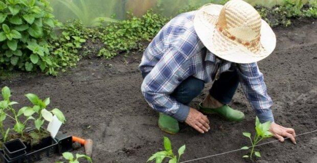 Sazenice do země: užitečné tipy od zkušeného zahradníka