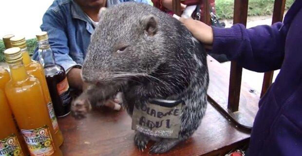 Pacaran není hračka, ale nejpůvabnější myš ve světě