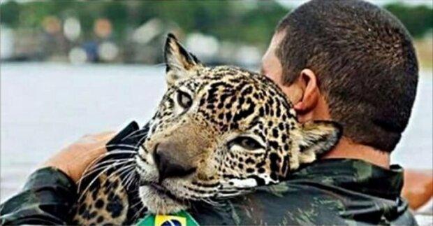 Zachráněný jaguár objal svého zachránce jako domácí kočka: podrobnosti