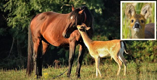 """Každé ráno přichází na pastvinu koně osiřelý jelínek: """"Asi ji považuje za svou matku"""""""