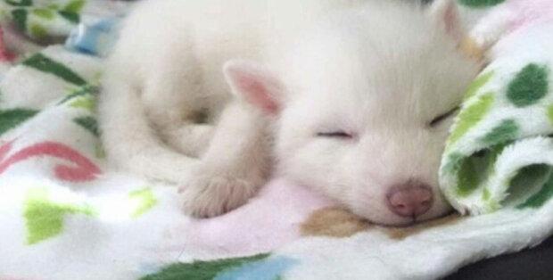 Slečna si koupila roztomilé bílé štěně. Až se vyrostlo, objevilo se, že to není vůbec pes, ale jedinečné divoké zvíře.