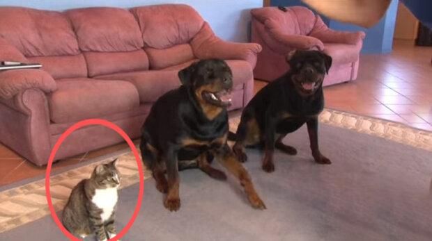 Majitel chtěl naučit psy novému rozkazu, a naučil kocoura