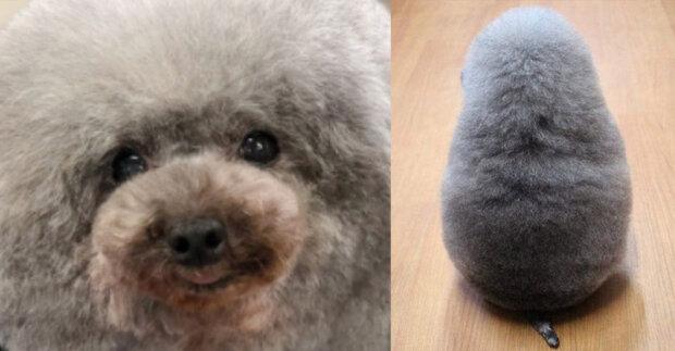 """""""Jenom jsme chtěli ho ostříhat"""": psí kadeřník si udělal legraci a  přetvořil psa v ovci"""