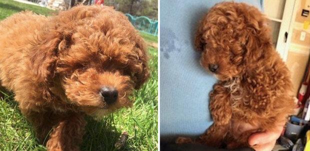 """""""Pes-krtek chce také žít"""": malý pes byl téměř poslán do nebe za to, že neviděl"""