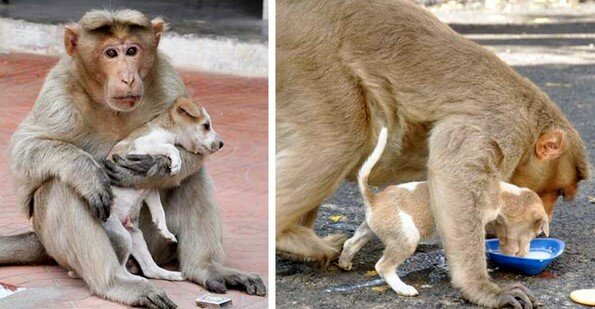 """""""Štěně se stalo adoptivním synem"""": Matka-opice vychovává pejska se vší zodpovědností"""