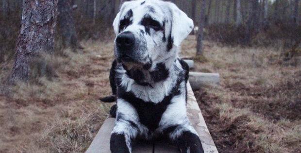 """Labrador onemocněl vetiligem a získal neobvyklou barvu: """"Nejprve se mu na uchu objevila bíla barva, pak se bílá barva začala šířit po celém těle"""""""