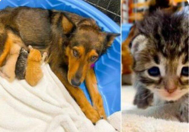 Mateřský instinkt: Jako toulavý pes Georgia zachránil osiřelé koťata
