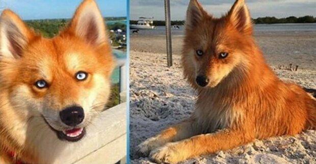 Psí-liška: vědci zkřížili dvě plemena psů. Ukázalo se to roztomilé
