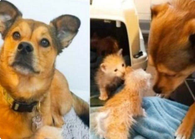 """""""Stal se tátou pěstounem"""": pes nemohl projít opuštěnými koťaty"""
